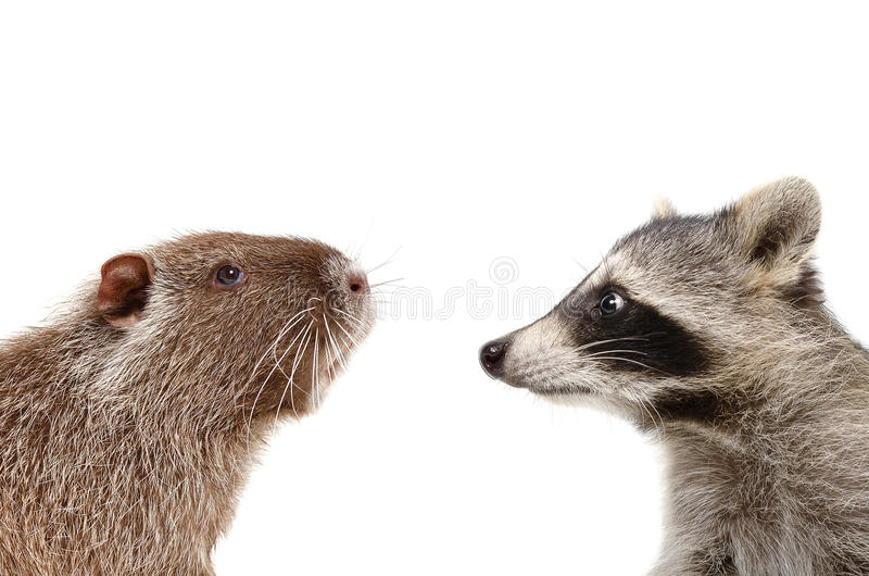 Portrait of funny nutria and raccoon royalty free stock photo
