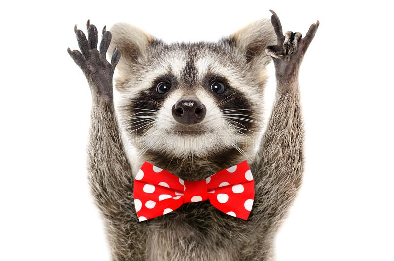Portrait of a funny raccoon in bow showing a rock gesture royalty free stock image