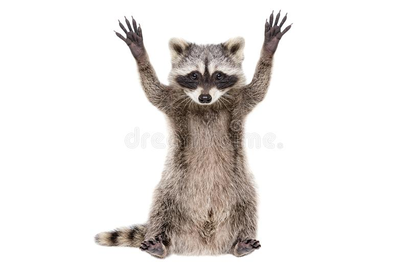 Portrait of a funny raccoon sitting with paws raised royalty free stock images