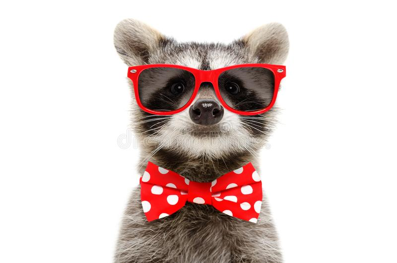 Portrait of a funny raccoon in sunglasses and bow stock photography