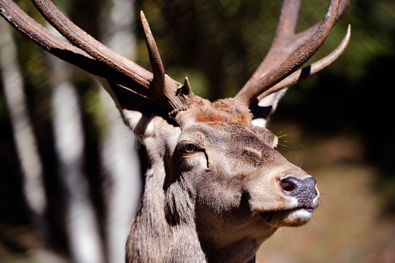 Portrait of funny red deer stag in Autumn Fall forest. Animal, animals, antler, antlers, big, buck, cervus, elaphus, head, hunting, landscape, male, mammal stock image
