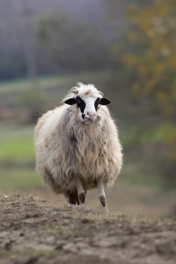 Portrait of funny sheep on the pasture royalty free stock photo