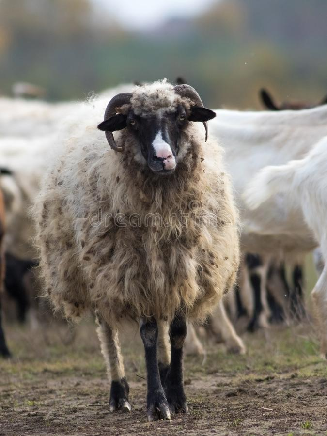Portrait of funny sheep on the pasture stock photography