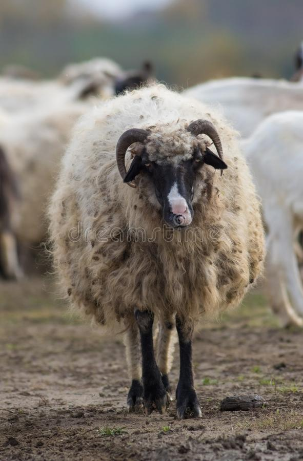 Portrait of funny sheep royalty free stock photo
