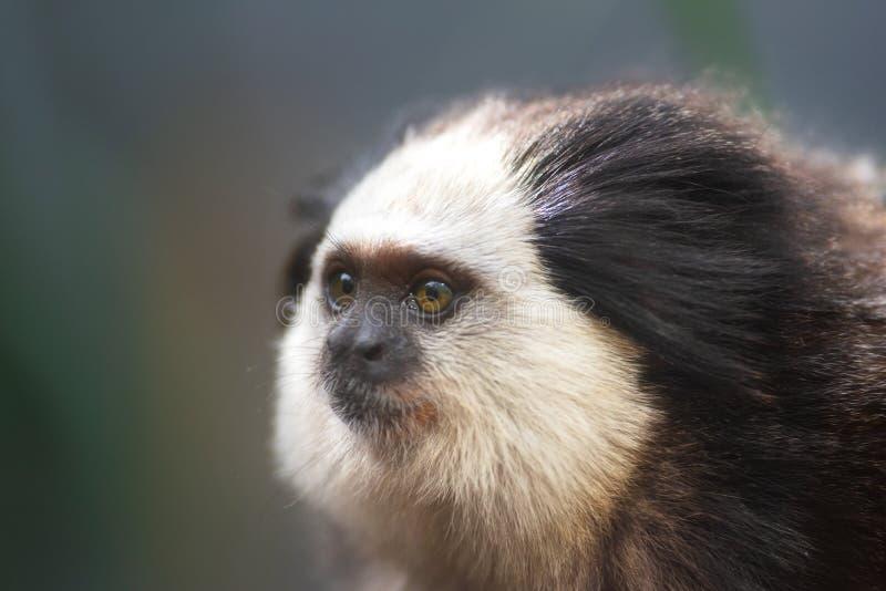 Portrait of a funny small monkey Black-tufted marmoset, Callithrix penicillata . royalty free stock photos