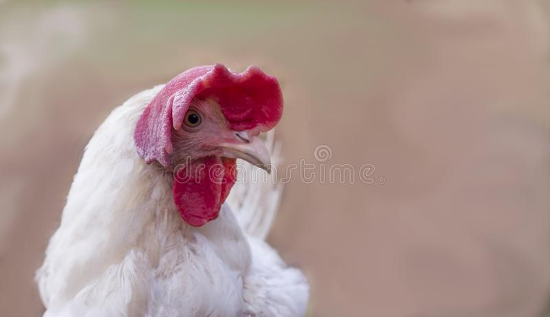 Portrait of a funny white chicken with a large red crest on blurred background with copy space royalty free stock photo