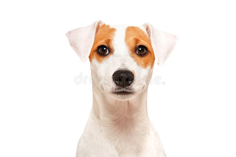 Portrait of funny young dog breed Parson Russel Terrier. Closeup, isolated on white background stock image
