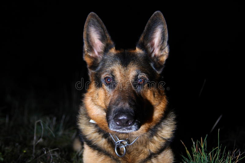 Portrait of german shepherd royalty free stock photo