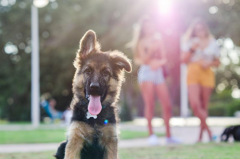 Portrait of German shepherd puppy with young girls in the background blurry abroad stock photography