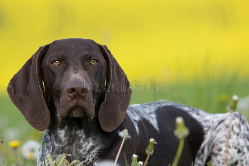 Download Portrait Of German Short Hair Pointer Stock Photo - Image: 22585568