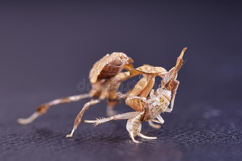 Portrait of the ghost mantis siting. Portrait of theghost mantis siting - African predatory insect in its natural habitat with a white background stock photography