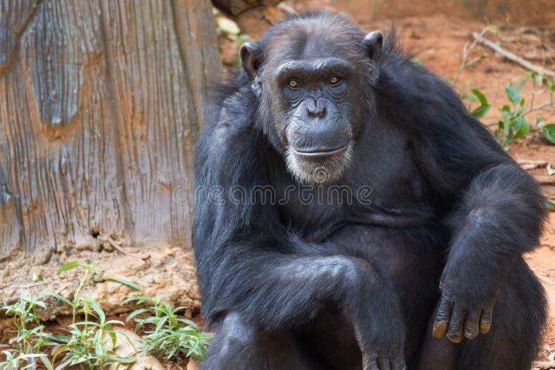 Portrait is giant chimpanzee monkey. Portrait is giant chimpanzee monkey sitting in the jungle stock photos