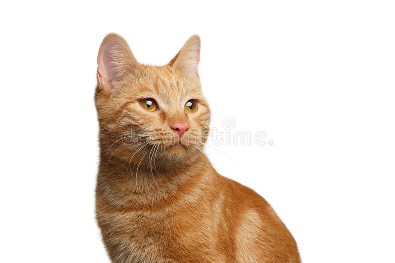 Portrait of ginger cat on Isolated white background royalty free stock images