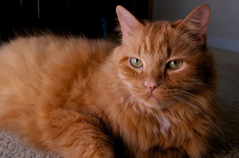 Portrait Of Ginger Cat Looking At Viewer Stock Photo
