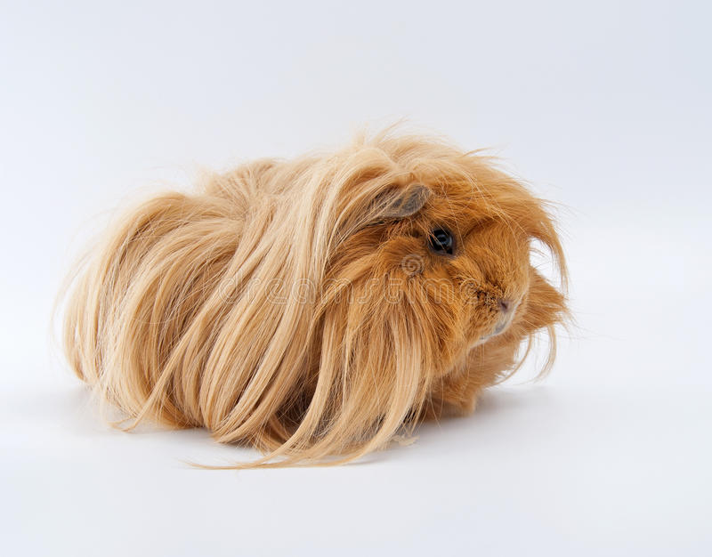Portrait of ginger guinea pig. royalty free stock images