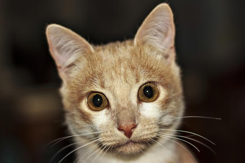 Portrait of Ginger Hunter cat with stretched paw on Black background stock photography