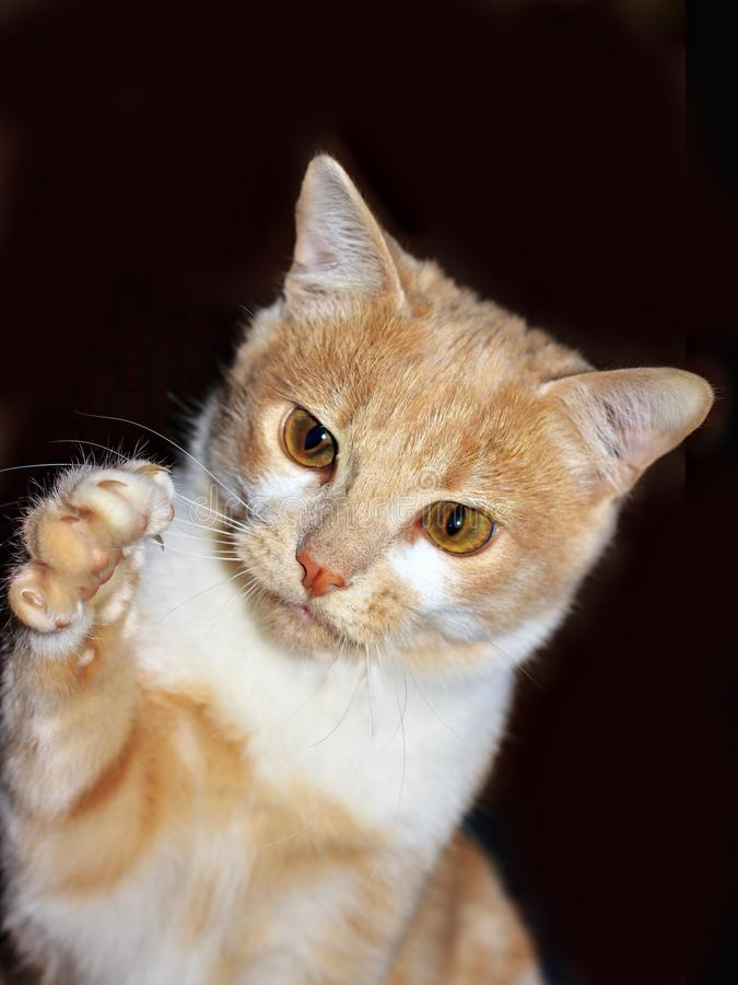 Portrait of Ginger Hunter cat with stretched paw on Black background royalty free stock images