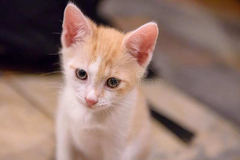Portrait of ginger white coloured kitten. Approximately 2 months old cat stock image