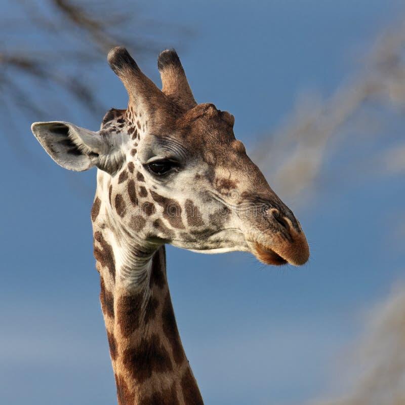 Download Portrait of a giraffe stock image. Image of mammal, artiodactyla - 14689861