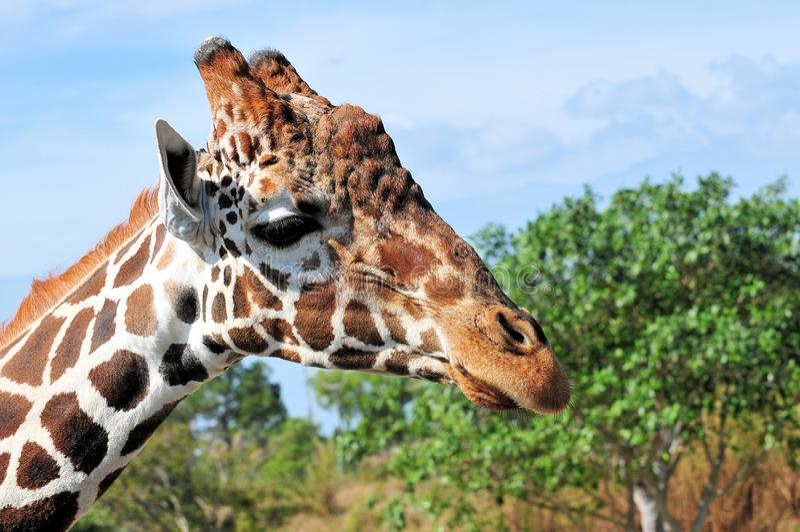 Download Portrait of giraffe stock image. Image of habitat, tropical - 24524823