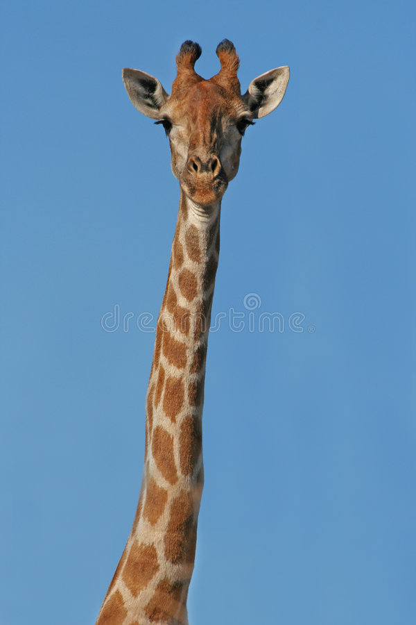 Portrait of giraffe stock image