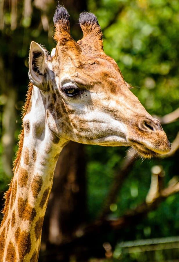 Portrait Of Giraffe Free Public Domain Cc0 Image
