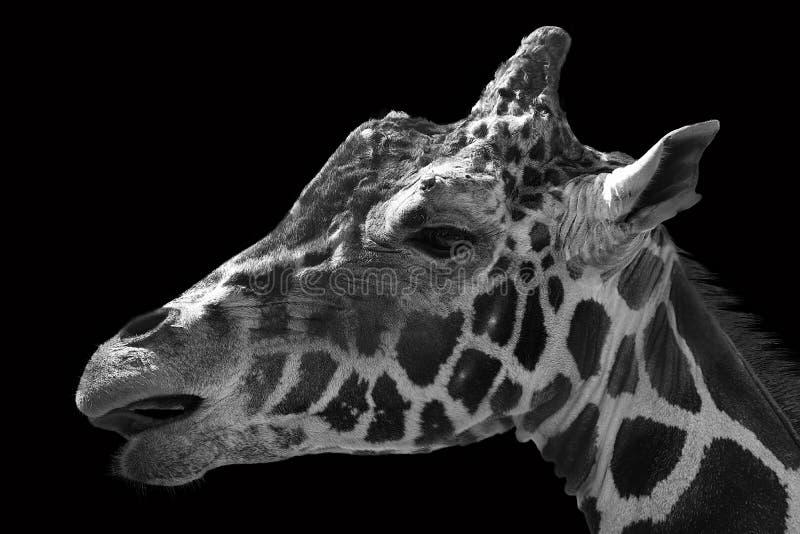 Portrait of giraffe in black and white stock photo