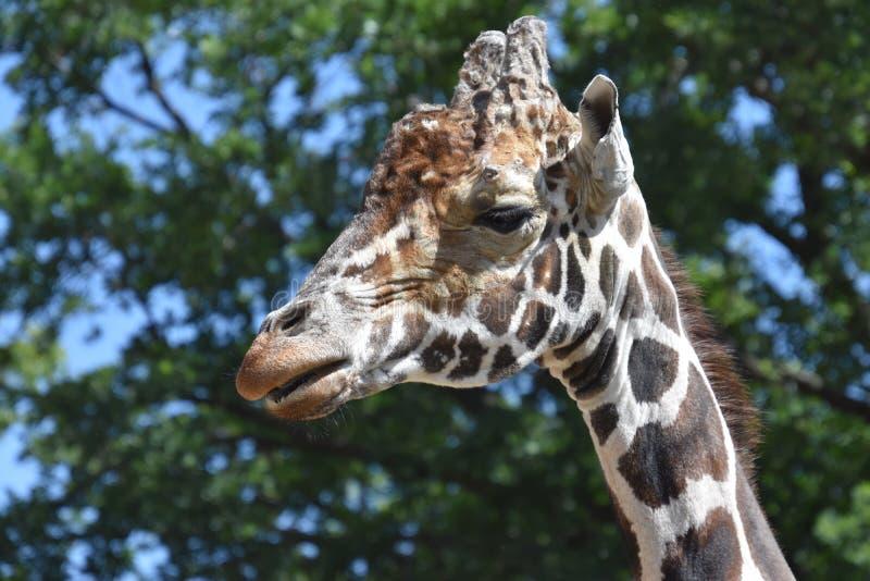 Portrait of a giraffe close-up royalty free stock photos