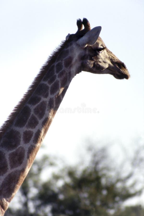 Giraffe in Etosha National Park, Namibia, Africa royalty free stock photography