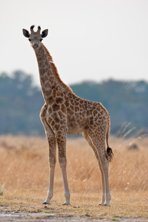 Portrait of a giraffe in southern Africa. royalty free stock image