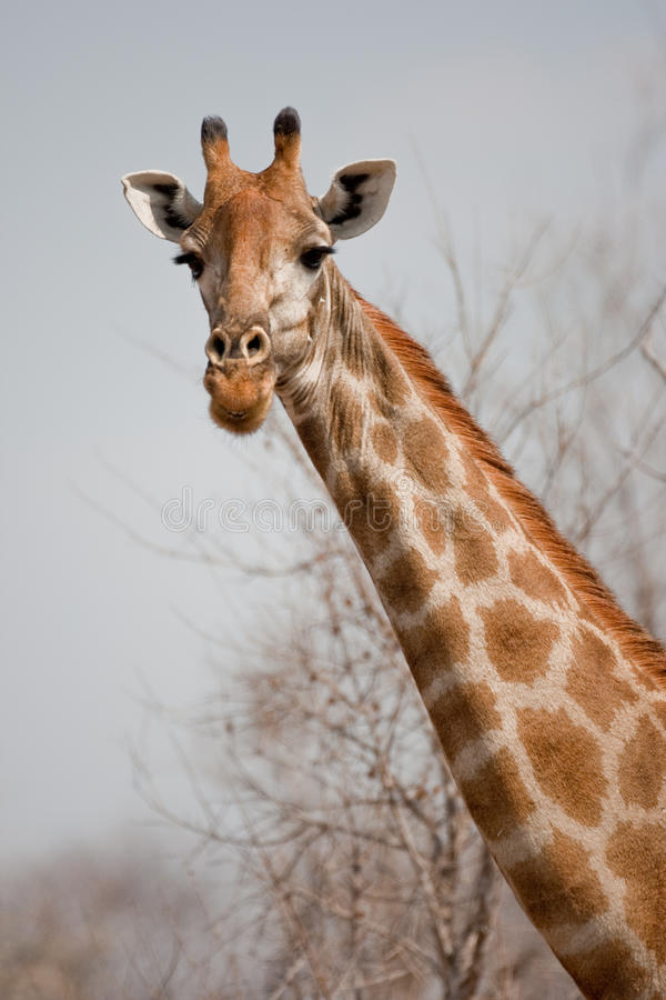 Portrait of a giraffe in southern Africa. stock image