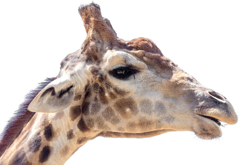 Portrait of a giraffe on a white background royalty free stock images
