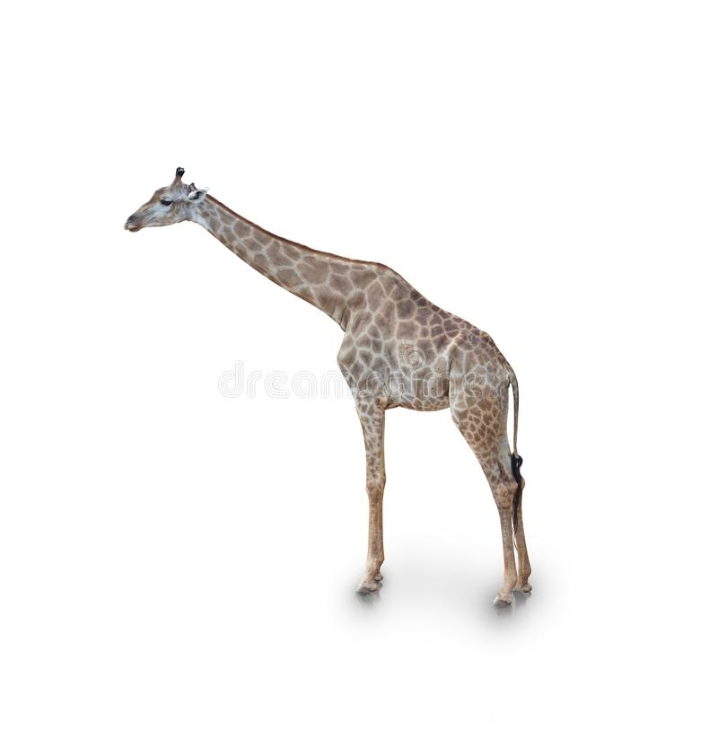 Portrait of giraffe  on white background royalty free stock photos