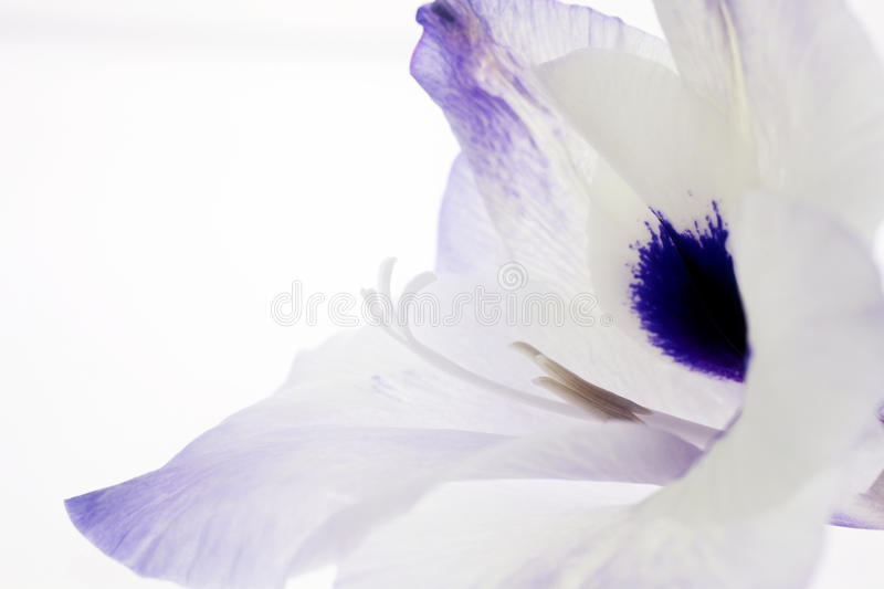 Portrait of a Gladiola. Profile view of a gladiola flower with stamen and pistils as well as plenty of copy space royalty free stock photography