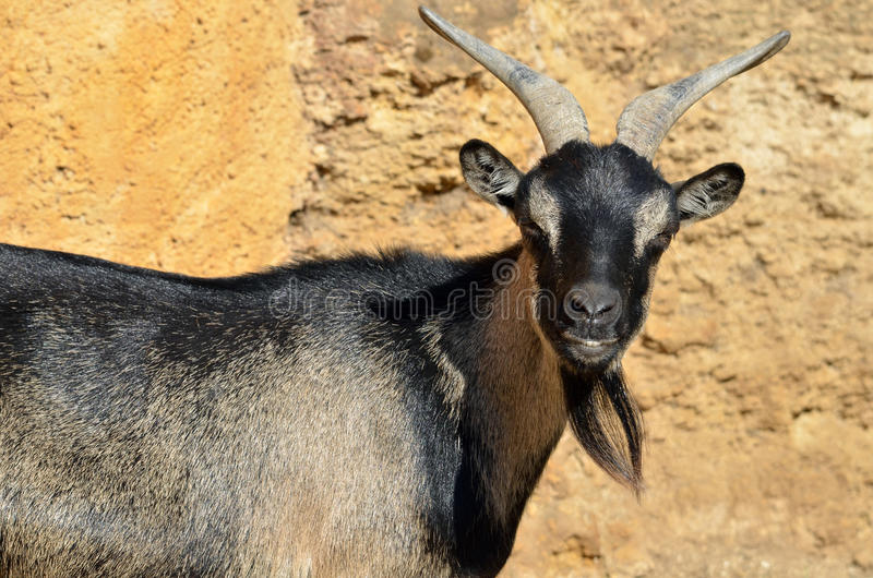 Download Portrait of goat stock photo. Image of horn, closeup - 26605568
