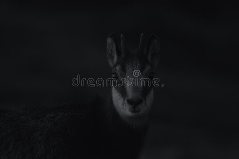 Portrait of Goat-antelope Chamois Rupicapra rupicapra. Black and white portrait royalty free stock photos