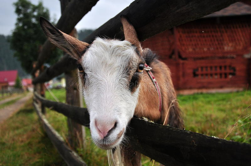 Portrait of a goat. Behind fence royalty free stock photo