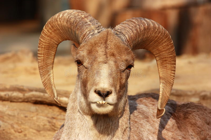 The portrait of a goat with big horns stock photography