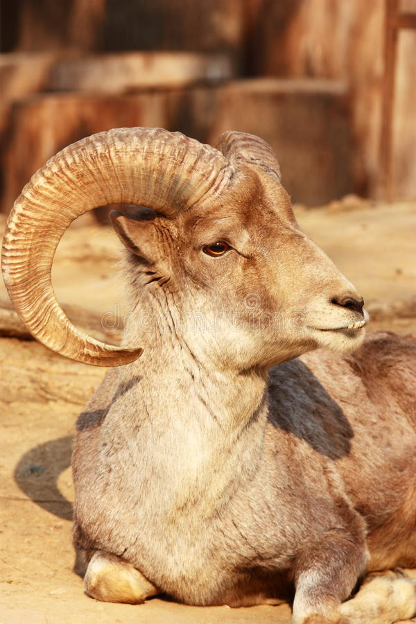 The portrait of a goat with big horns stock photo