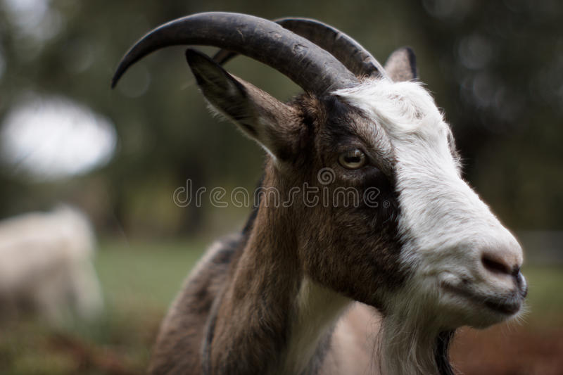 Portrait of a goat. royalty free stock photography