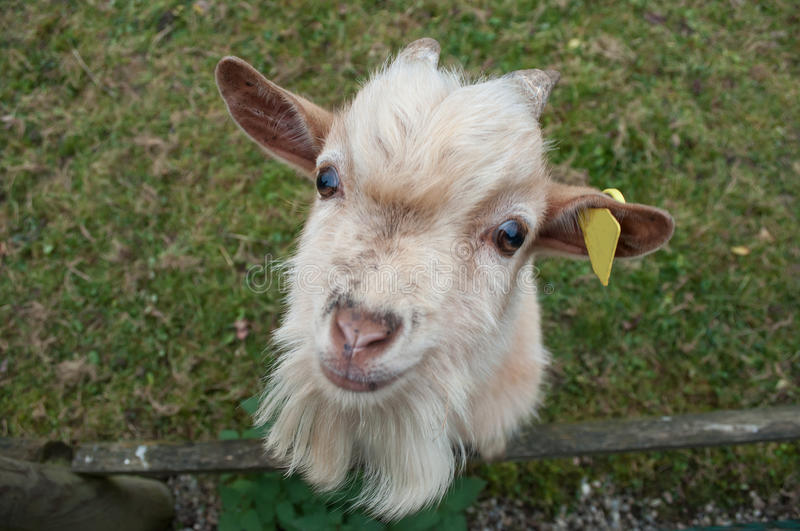 Portrait of goat in a field stock photos