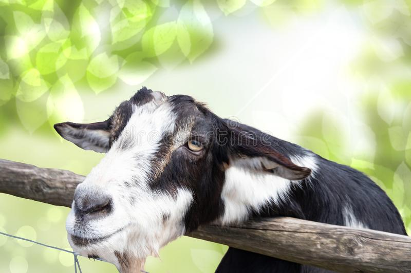 Portrait of a goat in front of abstract natural green background. Focus on the head of a black and white goat in the zoo. Portrait of a goat in front of abstract royalty free stock image