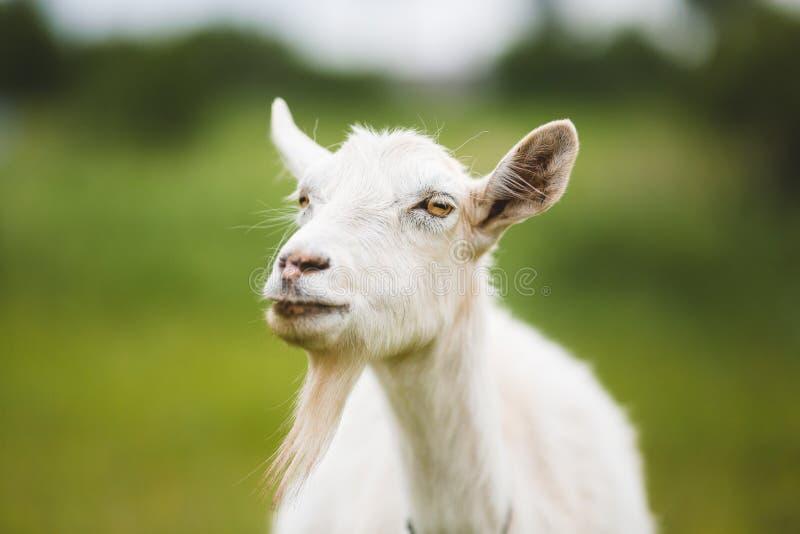 Portrait of goat royalty free stock image