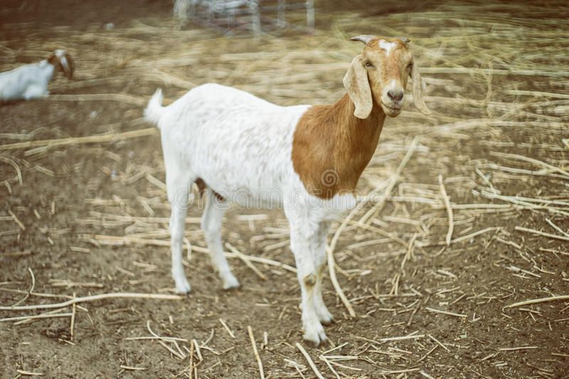 Portrait of goat on a ground field ,selective focus at goat face,filtered vintage tone process image.  stock images
