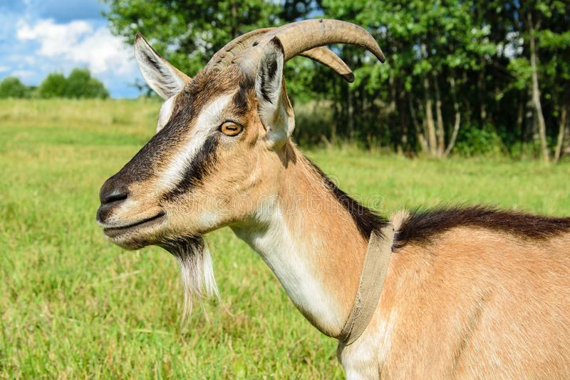 Portrait of a goat in profile closeup on a pasture background stock photo