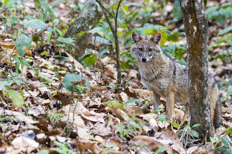 Portrait of Golden jackal in the forest of india stock photography