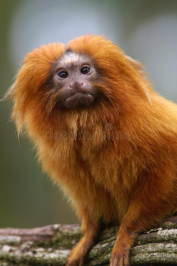 Portrait of a Golden Lion Tamarin. A portrait of a Golden Lion Tamarin.  When taking a closer look these little monkeys really have their own personality stock photography