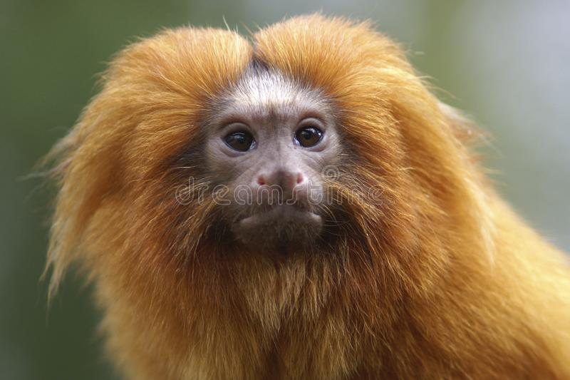 Portrait of a Golden Lion Tamarin. A portrait of a Golden Lion Tamarin.  When taking a closer look these little monkeys really have their own personality royalty free stock photography