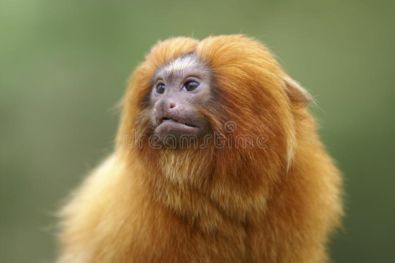 Portrait of a Golden Lion Tamarin. A portrait of a Golden Lion Tamarin.  When taking a closer look these little monkeys really have their own personality royalty free stock image
