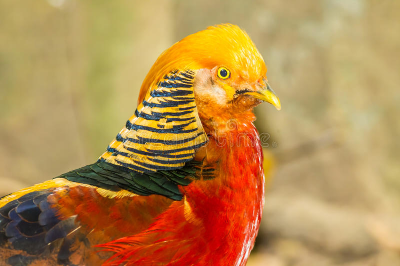 The Portrait Of Golden Pheasant Stock Image